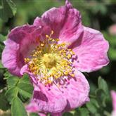 Rosa Webbiana - Flower Essence