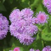 Ageratum - Flower Essence