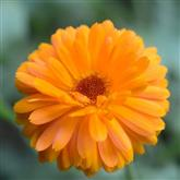Calendula - Flower Essence