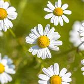 Chamomile - Flower Essence