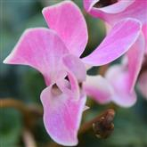 Cyclamen - Flower Essence