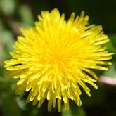 Dandelion - Flower Essence
