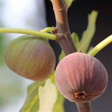 Fig - Flower Essence