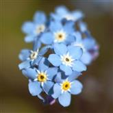 Forget Me Not - Flower Essence