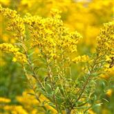 Golden Rod - Flower Essence