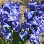 Hyacinth - Flower Essence