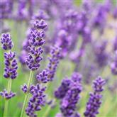 Lavender - Flower Essence