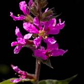 Loosestrife - Flower Essence