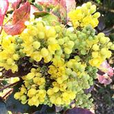 Mahonia - Flower Essence