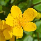 Marsh Marigold - Flower Essence