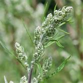 Mugwort - Flower Essence