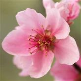 Nectarine - Flower Essence