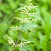 Nettle - Flower Essence