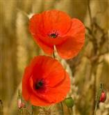 Poppy - Wild - Flower Essence