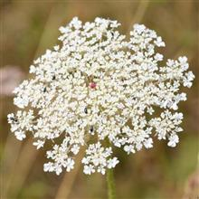 Queen Anne's Lace - Flower Essence