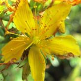 St Johns Wort - Flower Essence