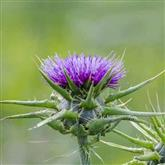 Thistle - Flower Essence