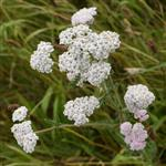 Yarrow - Mixed - Flower Essence
