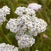 Yarrow - White - Flower Essence
